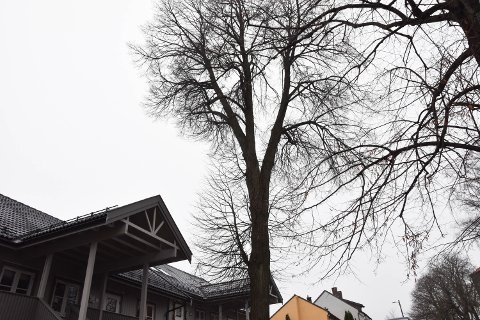 SKAL BORT: Etter tre uhell med fallende greiner har Tønsberg Kommune bestemt seg for å felle dette treet.