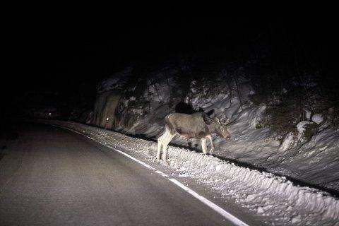 Det har aldri vært registrert flere viltpåkjørsler i Nord-Trøndelag.