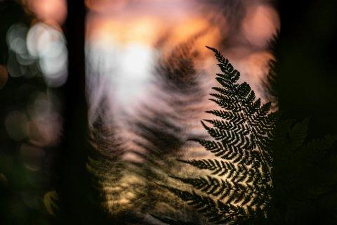 """TOPP TI: Bildet, """"Dancing ferns at sunset"""", tatt av Anne Lein Kristiansen, er blant topp ti i NFF sin fotokonkurranse."""