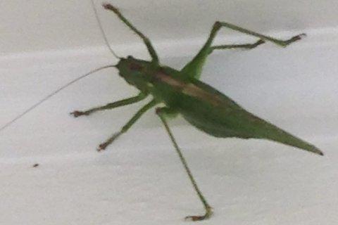 Giganten: Grønnfargen, som bare avbrytes av en stripe på ryggen, indikerer at det dreier seg om en løvgresshoppe.