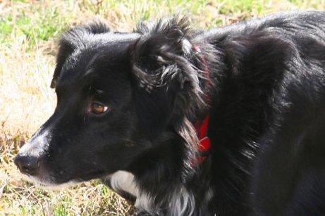 En border collie-lignende hund savner garantert eieren sin.