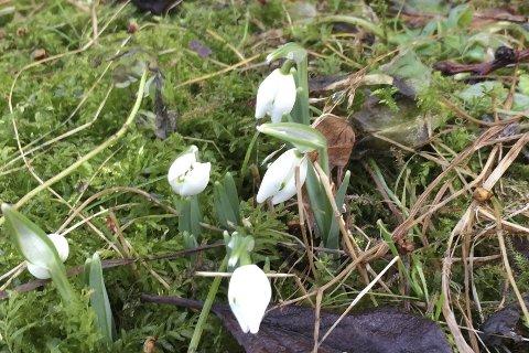 BLomster på Dynge: Disse snøklokkene blomstrer på Dynge, på Borøya i Tvedestrand. Takk for nydelig bilde!