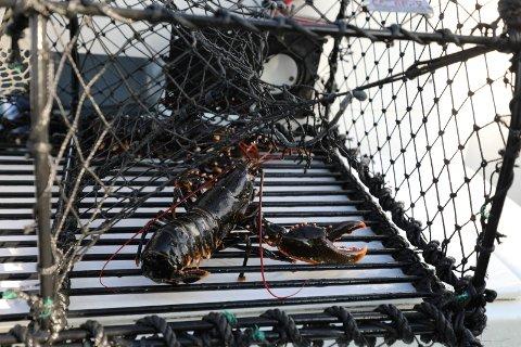 Stadig færre melder seg på hummerfisket, men fisket gjør fortsatt stort innhogg i bestanden, mener forskerne.