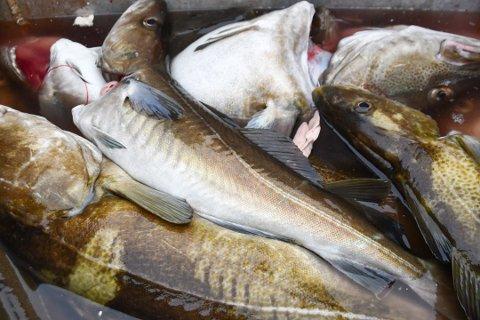 Det er ikke lenger store mengder torsk i fjordene, og nå strammes det inn på fiskemulighetene. Arkivfoto