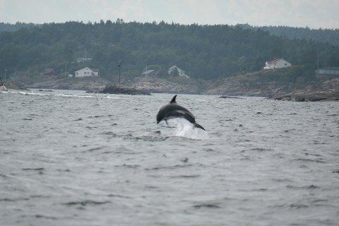 Delfinene hoppet og lekte foran båten til familien Berntzen. Båten deres var omringet av en flokk på rundt 50 dyr.