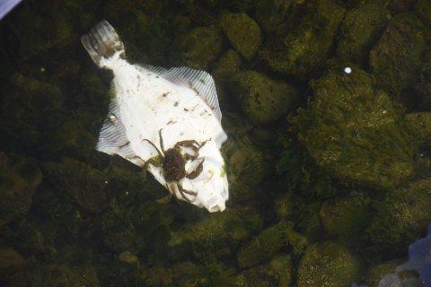 Måltid: En strandkrabbe forsynte seg av den ene av de to flyndrene i havna.