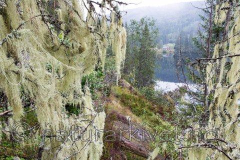 Mjuktjafs vokser hovedsakelig i fuktige barskoger langs vassdrag og i sumpskog. Selv om arten generelt er sjelden kan den slike steder forekomme i store mengder.