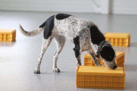"""Kassesøk er en øvelse i hundesporten """"Smeller"""". Det gjelder å finne den oppgitte lukta under en av de gule meierikassene. her er Bånski i aksjon."""