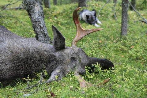 Elgjakt: I Øystre Slidre blir kvoten for elg på 140 dyr per år eller til saman 420 dyr dei neste tre åra.