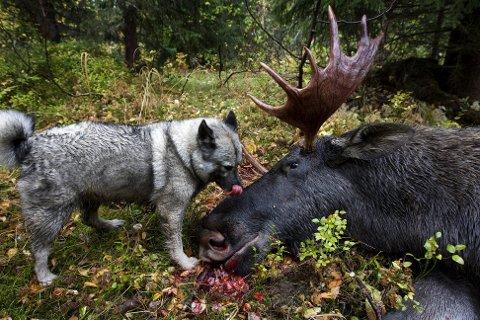 Norsk elghund grå (bildet) er den eneste av de sju norske hunderasene som ikke er utrydningstruet.