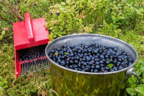 Hakadal  20150810.  Blåbær. bærplukking  Foto: Paul Kleiven / NTB scanpix
