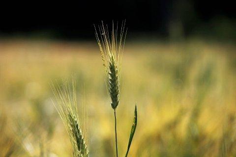 KORN: Et mer normalt sommervær er godt for kommunens kornavlinger.