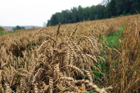Regntungt korn som venter på tresking.