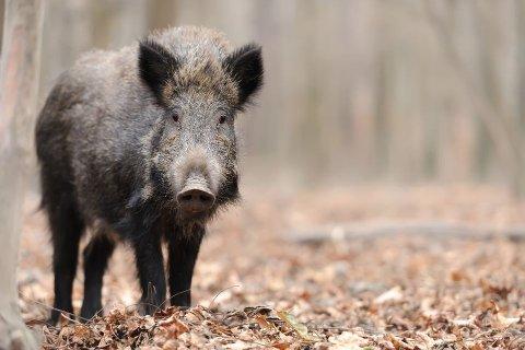 Villsvin kan ha blitt observert i Vestby kommune.