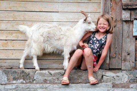 GEITELYKKE: På fjellet kan barna få nærkontakt med beitende kyr, sauer, hester og geiter. Flere steder tilbyr varianter av seterferie med overnatting og mulighet for å delta i aktivitetene på setra. (Foto: Bjarne Nygård / Samfoto)