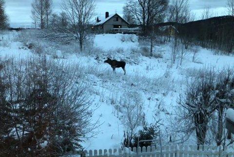 ELGTRÅKK I VILLASTRØK: Elgen tråkket seg mellom hus og hager i Slalåmveien torsdag ettermiddag.