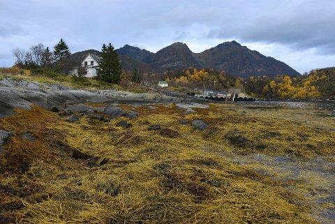 Store verdier: Det kan ligge store verdier i tang og tare. Det er anslått at Norge, innen 2050, kan produsere 20 millioner tonn makroalger til en årlig verdi av 40 milliarder kroner.