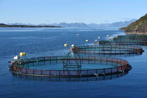 Cermaq startet onsdag kveld evakueringen av fire millioner fisk i frykt for å bli rammet av dødsalgene.