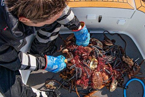 Inspektør Knut Rekdalsbakken i Fiskeridirektoratet deltok på én av båtene som var med i fellesaksjonen. Her gjennomgår han fangsten på et garn som hadde blitt stående lenge i sjøen.