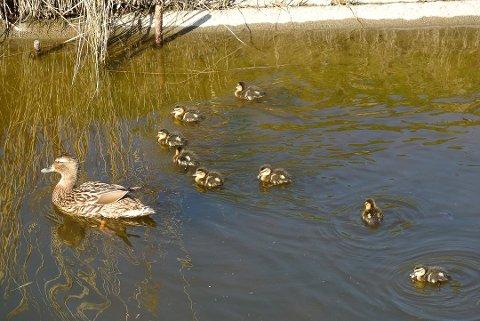 SE ETTER DØDE FUGLER: Ser du døde ender i vannkanten er det noe Mattilsynet vil ha beskjed om.