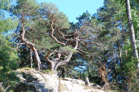 Furutrær i trolske formasjoner.