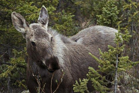 SKOGENS KONGE: Elgbestanden er så høy at det kan gå hardt utover både elgen og miljøet. Illustrasjonsfoto.