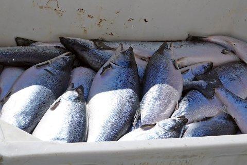 Fisk, laks, oppdrett, oppdrettslaks, død fisk