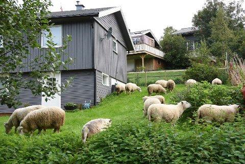 Hageselskap: Saueflokken har de siste årene ofte invitert seg selv til hageselskap rundt omkring på Drag, til fortvilelse og irritasjon blant de mange som har fått hagene sine delvis ødelagte av dyrene.