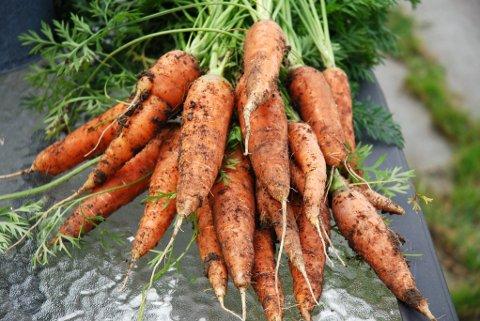 MANGELVARE? Det kan bli vanskelig å få tak i norske gulrøtter til høsten og vinteren, og det kan være man må nøye seg med grønnsaker som er mindre eller «rarere» enn det vi er vant til.