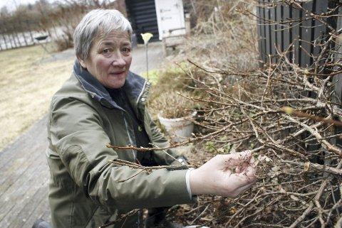 Kari Moss plukker vekk gamle, tørre blomster på en klatrehortensia.