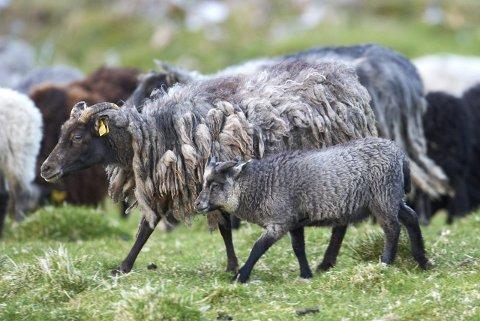 ULVEFôR?: Villsau kan ofres som ulvemat for å redde tamsauer, mener Thomas Larsen, som ønsker å sette ut en hel del villsau i Eidskog. Fot: Steinar Myhr, Samfoto