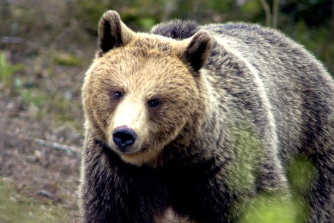 BJØRNEANGREP: Sju søyer er drept av bjørn i Ringsakerfjellet.