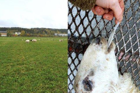FATAL FORSØPLING: Dette lammet døde etter å ha spist en plastpose. Foto: Privat