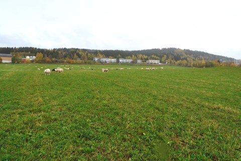 SPISER UTE: Sauene beiter ved Randgårdsjordet, som også er et attraktivt turområde.