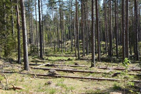 - Mange skogarealer  «freder seg selv», fordi det ikke lengre er lønnsomt å ta ut trevirke der, skriver skogingeniør Jo Heringstad.