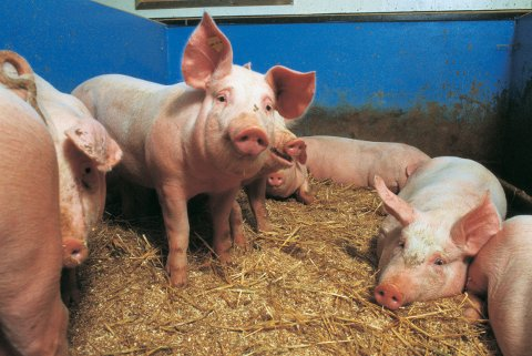 GRIS: Iføle Nortura trengs det 200 griser for å produsere ett tonn med ribbe.