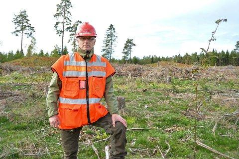 Felling av De tre furuer i Rokke. Tre stammer på sju meter hver ble stående igjen. Seniorrådgiver og arborist Erik Solfjeld fra Statens vegvesen.