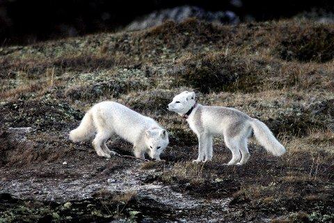 DOVREFJELL: Fjellreven regnes som Norges mest truede pattedyr. 90 valper ble satt ut på Dovrefjell fram til 2012, og sju av årets ti ynglinger er registrert på Dovrefjell. Foto: Gorm Kallestad / SCANPIX