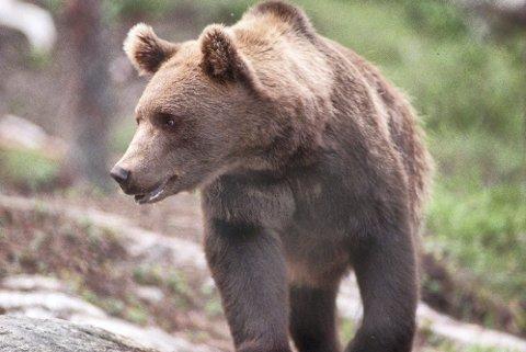 Forlatt området: Ingen vet hvor bjørnen, som drepte en sau i Vesterfjella, befinner seg nå.