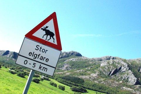 Elgfare: Uten elgjakt i år kan det bli større fare for elg som går rundt og leter etter mat i vinter.