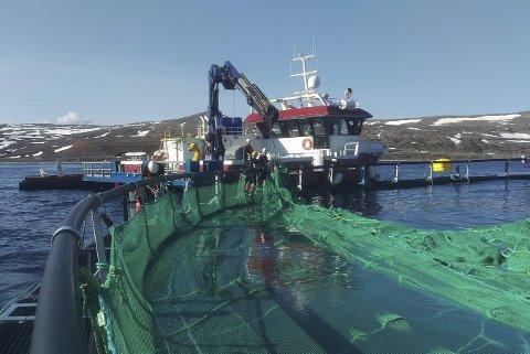 KLARGJØR: Merdene i Syltefjorden klargjøres. Bildet er tatt i midten av mai. I disse dager kommer det mer fisk, og derfor har ikke daglig leder Ronald Wærnes tid til å være på messa. FOTO: BENGT KARLSEN