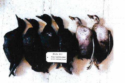 BLE SKUTT: Dette er de beslaglagte svartendene etter jakta i Kautokeino i mai.