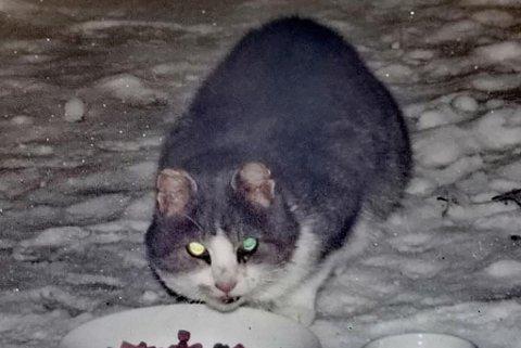STORE SMERTER: Denne stakkars katten måtte bli avlivet etter at Dyrebeskyttelsen Norge Finnmark fikk hentet han inn fredag. Det ble avdekket gamle brudd, og flere sykdommer.