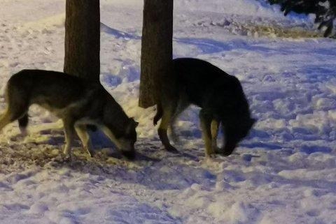 LØSHUND: Disse to hundene gikk løse i Svanvik tirsdag. Her spiser de frø.