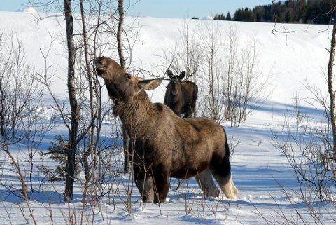 ADVARER OM ELG: Politiet har mottatt klage om aggressiv elg i Sør-Varanger. Illustrasjon.