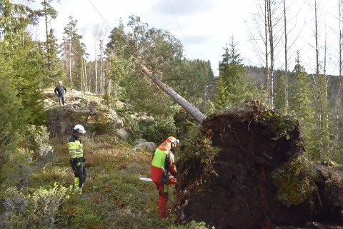 Sterk vind førte til at den store furua veltet over strømledningene og gjorde det strømløst på Setskog lørdag formiddag. Foto: Trym Helbostad
