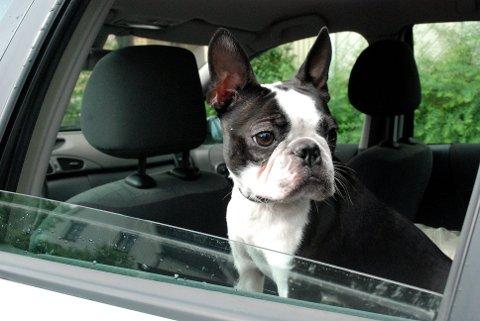 HUND I BIL: Parkerte biler blir raskt varme innvendig, advarer Mattilsynet.