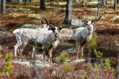 Kan bli rammet: Denne villrein-gjengen kan bli rammet dersom det bygges ut vindkraft. De tilhører Norefjell/Reinsjøfjell-stammen  og er fotografert i nærheten av Tunhovd.