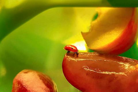 FOR TIDLIG VÅKEN: Denne vesle krabaten så ut til å like saften fra druene som lå i en boks på kjøkkenbenken, men bladlus var det dårlig med i heimen. Marihøna går dermed trolig en ublid skjebne i møte, som våknet opp såpass tidlig på året.