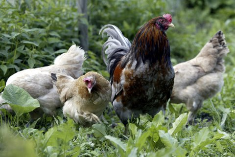 Naboene til en haneeier på Manglerud irriteres av bråket. (Illustrasjonsfoto)